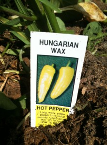 Hungarian wax pepper plant
